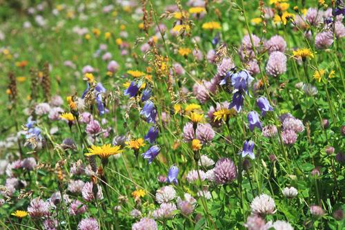 Blumenwiese an der Hütte