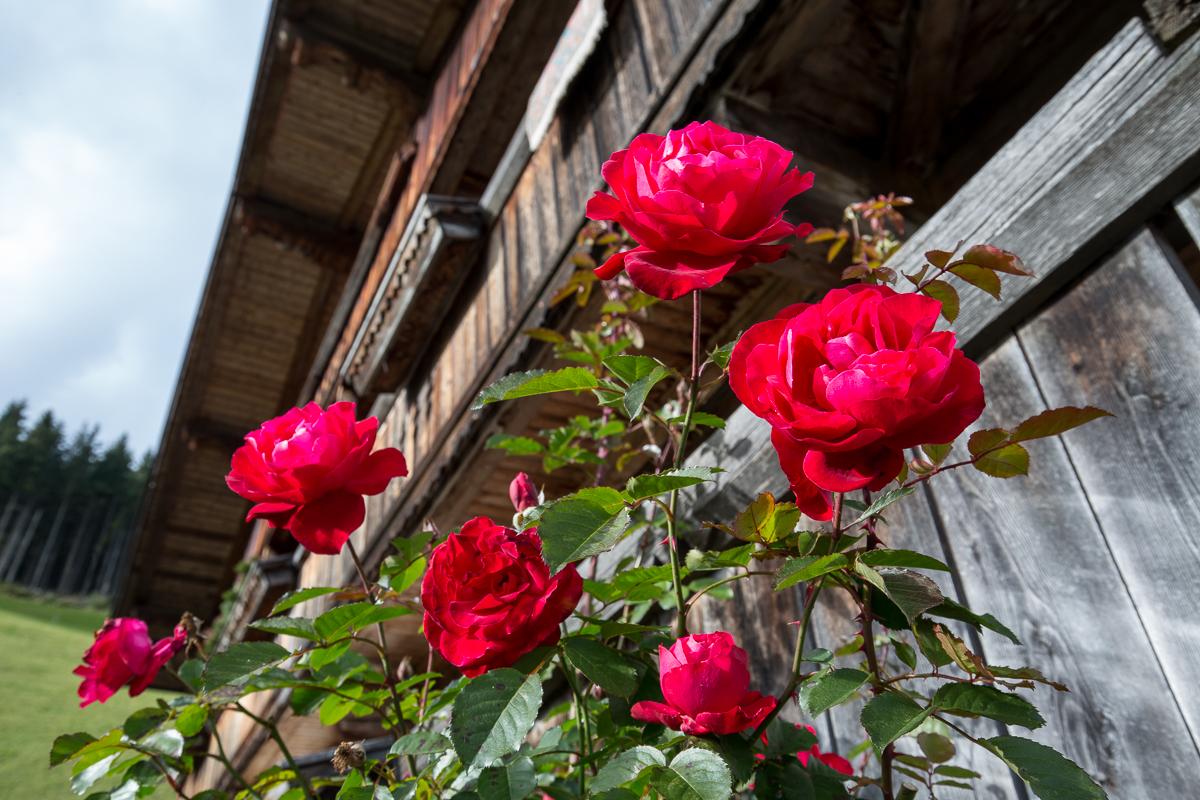 Blühende Rosen entschädigen uns