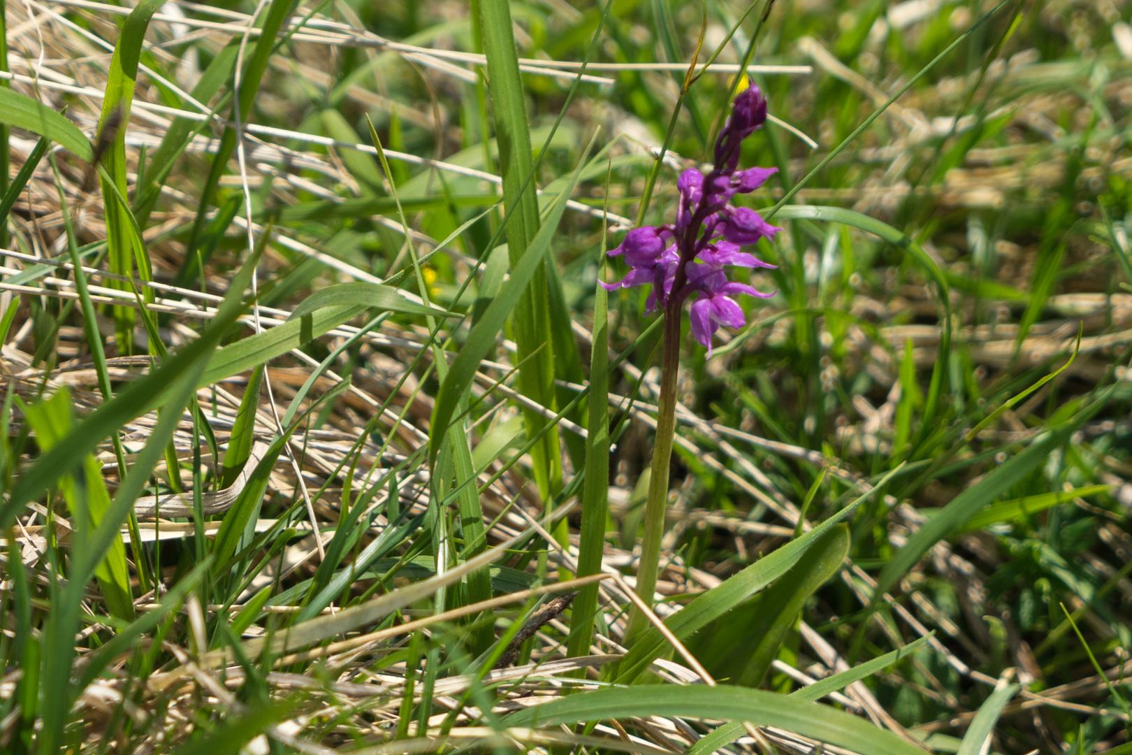 Mücken Händelwurz (Orchidee)